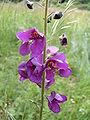 Verbascum phoeniceum Gant.jpg