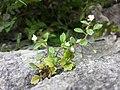 Veronica cymbalaria sl3.jpg