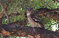 Verreaux's eagle-owl, or giant eagle owl, Bubo lacteus eating a snake at Pafuri, Kruger National Park, South Africa (20692069811).jpg