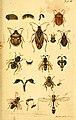Verzeichniss meiner Insecten-Sammlung (Tab. IV) (5998532727).jpg