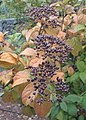 Viburnum rigidum kz04.jpg