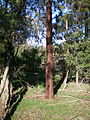 Victorian forested Ironbark.jpg