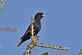 Village indigobird, Vidua chalybeata, at Mapungubwe National Park, Limpopo, South Africa (male) (17416717683).jpg