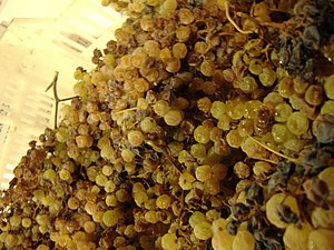 Late harvest grapes being harvested to produce...