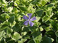 Vinca major Greater periwinkle.JPG