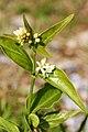 Vincetoxicum hirundinaria (flowers).jpg