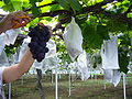 Vineyard,katori-city,japan.JPG
