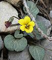 Viola charlestonensis 3.jpg