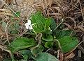 Viola primulifolia.jpg