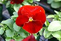 Viola tricolor Delta Pure Red 1zz.jpg