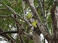 Vitex altissima (5598193750).jpg