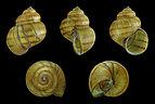 Viviparus contectus 01.JPG