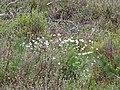 WLE2019 - Frasne-Bouverans - Eriophorum vaginatum 02.jpg