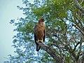 Wahlberg's Eagle (Aquila wahlbergi) (11466350343).jpg