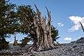 Wander to Ancient Bristlecones - Flickr - RuggyBearLA.jpg