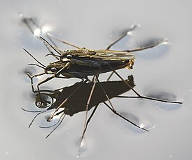 A pair of pondskaters mating