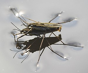 Water striders using water surface tension whe...