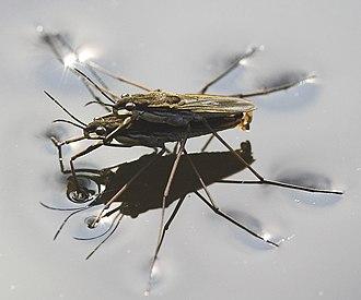 Heteroptera - Two water striders mating