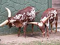 Watusi cattle -Racine Zoo, Wisconsin, USA-8a.jpg