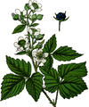 Wayside and woodland blossoms-0070-030-Rubus caesius-crop.png