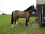 Welsh Pony of Riding Type