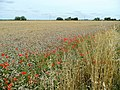 Wheat edged with poppies - geograph.org.uk - 1418761.jpg