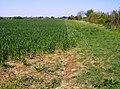 Wheat on the Macmillan Way - geograph.org.uk - 488880.jpg