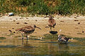 Whimbrels and Willet at Malibu Lagoon.jpg