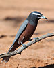 White-browed Woodswallow (15395465843).jpg