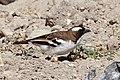 White-browed sparrow-weaver (Plocepasser mahali melanorhynchus) male.jpg