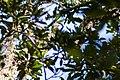 White-eyed vireo (37832871592).jpg