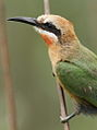 White-fronted Bee-eater, Merops bullockoides, at Rietvlei Nature Reserve, Gauteng, South Africa (16050856145).jpg