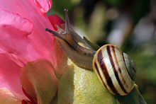 White-lipped snail (Cepaea hortensis) on rhododendron.jpg
