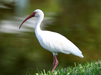 American white ibis - American white ibis in a neighborhood pond in Tampa Bay, Florida