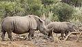 White rhinoceros or square-lipped rhinoceros, Ceratotherium simum. (17164764299).jpg