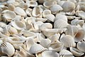 White sea shells - Flickr - SyN-H.jpg