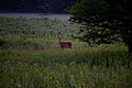 Whitetail-deer-spring-morning-field - West Virginia - ForestWander.jpg