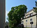 Wiener Naturdenkmal 501 - Spitzahorn (Döbling) a.jpg