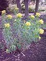 Wilczomlecz błotny Euphorbia palustris.jpg