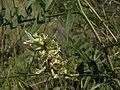 Wild licorice, Glycyrrhiza lepidota (15552490313).jpg