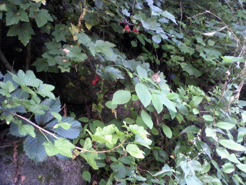 File:Wild red currants.jpg