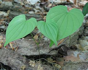 Wild yam in woods - young plants.jpg