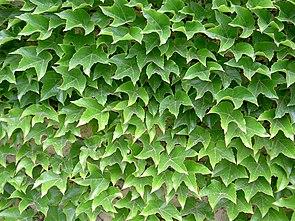 Dreispitzige Jungfernrebe (Parthenocissus tricuspidata)
