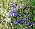 Wildflower - geograph.org.uk - 393740.jpg