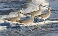 Willet, Tringa semipalmata, Moss Landing and Monterey area, California, USA. (30285180164).jpg
