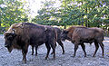 Wisente Bison bonasus-cc.jpg