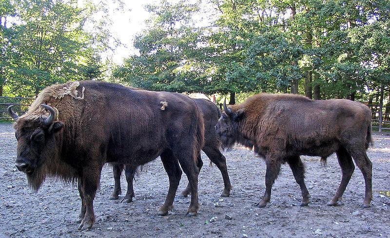 Datei:Wisente Bison bonasus-cc.jpg