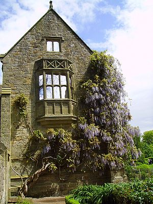 Wisteria - Wisteria at Nymans Gardens, West Sussex, England.