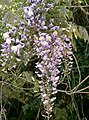 Wisteria floribunda6.jpg