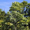 Wollemia nobilis-IMG 8794.JPG